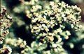 Cladonia parasitica-4.jpg