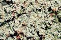 Cladonia parasitica (EU).jpg