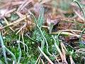 Cladonia subulata.jpeg