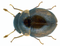 Clambus punctulum (Beck, 1817) (12924039694).png