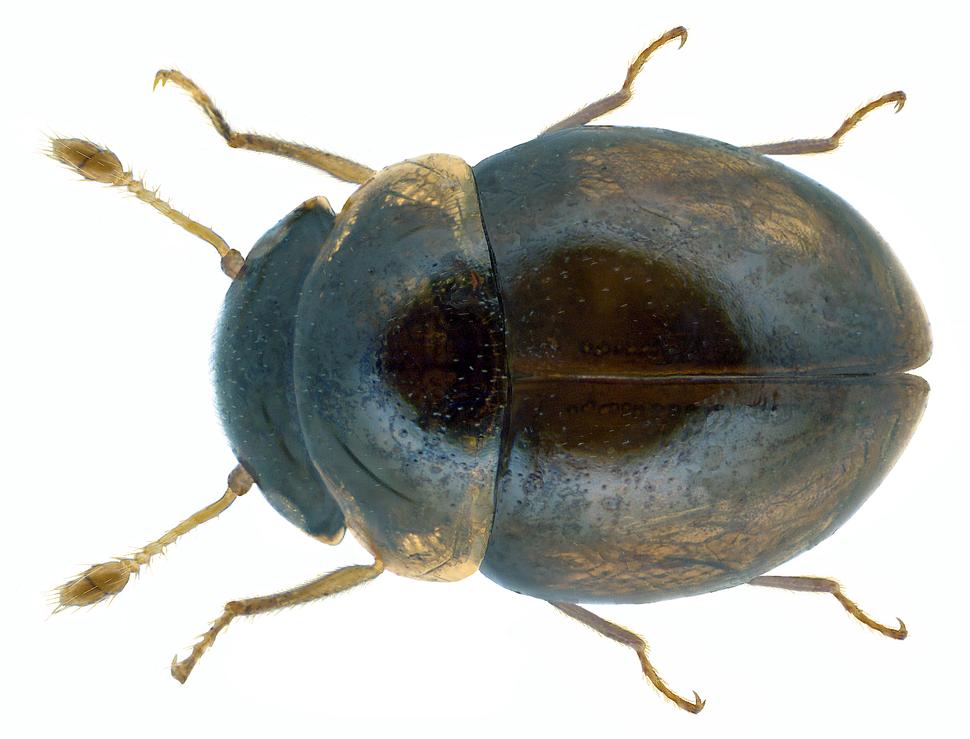 Clambus punctulum (Beck, 1817) (12924039694)