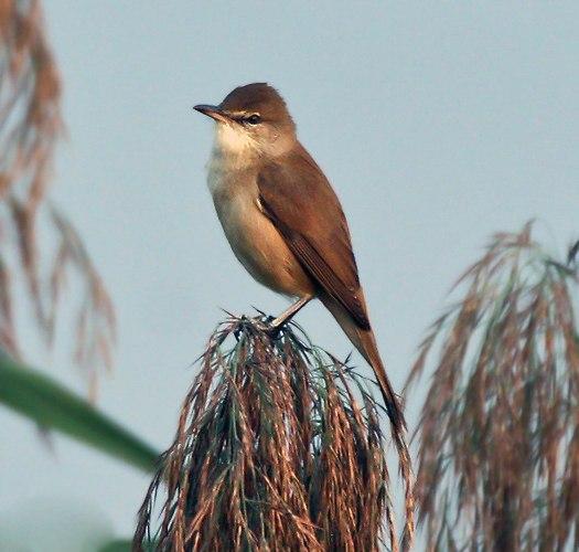 Clamorous Reed Warbler I IMG 0191
