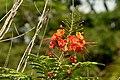 Clavellina (Caesalpinia pulcherrima) (14390967186).jpg