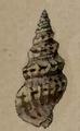 Clavus pulchella 001.png