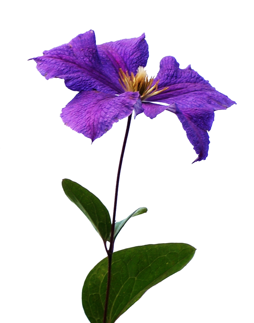 Clematis20090812 510.png