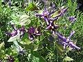 Clematis Petit Faucon - Flickr - peganum.jpg
