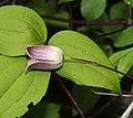 Clematis japonica (flower s10).jpg