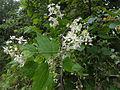 Clematis virginiana SCA-03920.jpg