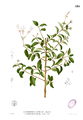 Clerodendrum inerme Blanco1.224.png