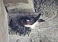 Cliff Swallow (26520898936).jpg