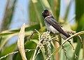 Cliff Swallow - juvenile (43165894105).jpg