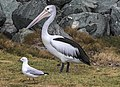 Clontarf Pelican and Seagull-1 (7843803314).jpg