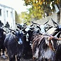 Close up goats in muktinath.jpg