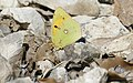 Clouded Yellow (Colias croceus) (44763418014).jpg