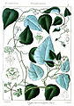 Clypea hernandifolia Rungiah.jpg