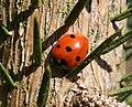 Coccinella septempunctata4.jpg