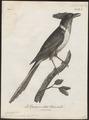 Coccystes coromandus - 1796-1808 - Print - Iconographia Zoologica - Special Collections University of Amsterdam - UBA01 IZ18800265.tif