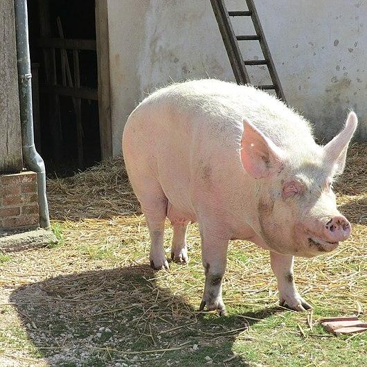 Cochon rose au moulin du Vanneau - 2.JPG