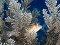 Cockerel wrasse (Pteragogus enneacanthus) (48272170402).jpg