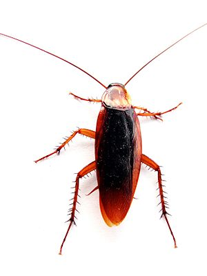 Cockroach closeup
