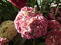 Cockscomb or Celosia argentea from lalbagh 1697.JPG