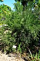 Colletia spinosissima in Jardin des plantes de Montpellier 01.jpg