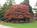 Colourful Maple, Wythenshawe Park - geograph.org.uk - 1279049.jpg