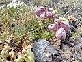 Coluteocarpus vesicaria Sevkar 08.jpg
