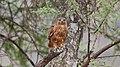 Common Buzzard (Buteo buteo) (44743724800).jpg