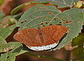 Common Earl (Tanaecia julii) at Samsing, Duars, West Bengal W IMG 6104.jpg