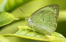 Common Emigrant or Lemon Emigrant (Catopsilia pomona).JPG