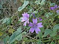 Common Mallow - Malva sylvestris - geograph.org.uk - 1174238.jpg