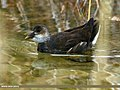 Common Moorhen (Gallinula chloropus) (21956266403).jpg