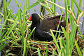 Common Moorhen (Gallinula chloropus) on nest.jpg