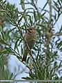 Common Rosefinch (Carpodacus erythrinus) (15710354909).jpg