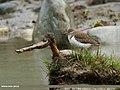 Common Sandpiper (Actitis hypoleucos) (26589647344).jpg
