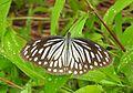 Common Wanderer Pareronia valeria Female UP by Dr. Raju Kasambe DSCN3867 (18).jpg