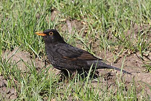 Common blackbird - Young adult T. m. merula in Oxfordshire