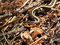 Common garter snake, Thamnophis sirtalis, closeup of head from side.JPG