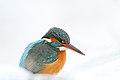 Common kingfisher - IJsvogel - Alcedo atthis 02.jpg