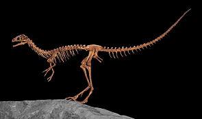 Skelettrekonstruktion von Compsognathus im North American Museum of Ancient Life