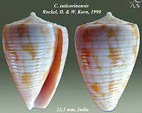 Conus tuticorinensis 1.jpg