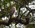 Cooper's Hawk (juvenile - probably a female) (29551853314).jpg