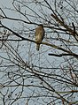 Cooper's Hawk sitting in a tree in New Jersey.jpg
