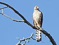 Coopers Hawk (Accipiter cooperii) (7531147110).jpg