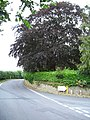 Copper Beech, Orleton - geograph.org.uk - 221657.jpg