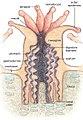 Coral polyp.jpg