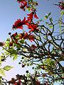 Coral tree 1.jpg