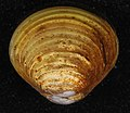 Corbicula fluminea (I0972) (16848724997).jpg