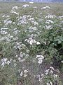 Coriander Flowers-2.jpg